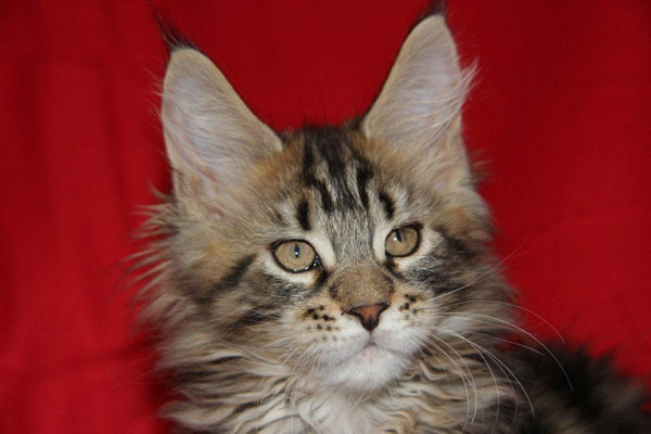 Coonforest Maine Coons